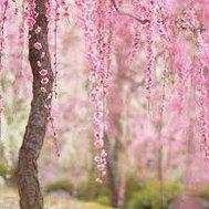 Are you a Cherry Blossom?
