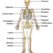 skelettet på latin